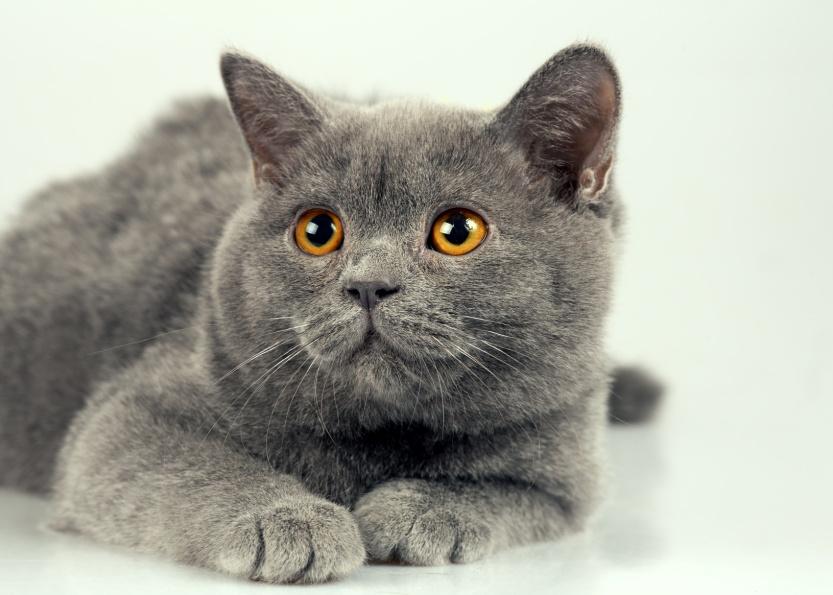 Studio portrait of blue British shorthair cat
