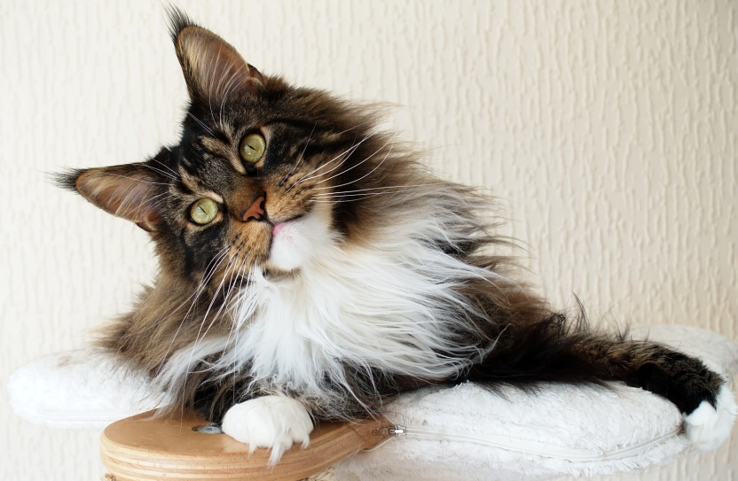 Brown tabby with white Maine Coon boy on top of cat tree looking curious