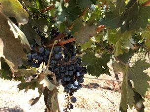 Uvas da Viñas Cousiño Macul