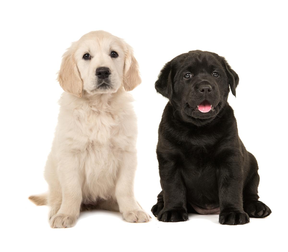Cães das raças Golden Retriever e Labrador ganham evento especial neste domingo (17)