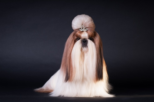 Shi tsu show class dog portrait at studio on black background