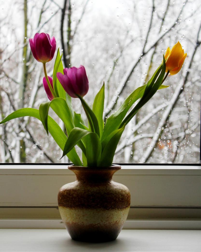 Tulipa inverno